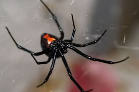 Black Widow Spiders Had A - black widow spider genus latrodectus our wild world