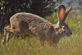 North Dakota wild animals images Herds of gigantic rabbits are wreaking havoc on a north dakota jpg