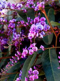friends of peacehaven botanic park inc new members new plants also know as australian tea tree leptospermum laevigatum most