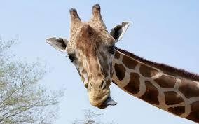 christmas giraffe wallpaper wallpapersafari
