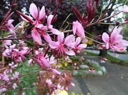 san antonio native plants buy a gaura plant in san antonio wilson landscape nursery