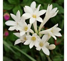 annual flowering buy annual flowering at best price on