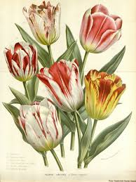 Ottoman Tulip by The Dutch Tulip Mania Known As Tulpenwoede That Devastated 17th