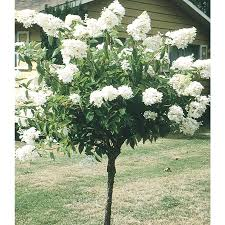 Patio Tree Roses by Shop Shrubs At Lowes Com