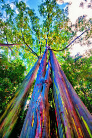 shutterbugs capturing the world around us rainbow eucalyptus tree