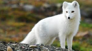 nature animals fox arctic fox wallpapers hd desktop and