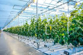 modern green house green crop in modern greenhouse full of ligh in modern agriculture
