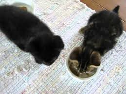 the science of cats 2 month old kittens eating stella u0026 chewy u0027s