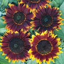 sunflower shock o lat annual flower seeds gardening