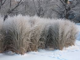 best 25 ornamental grasses ideas on pinterest ornamental grass
