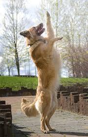 4 belgian sheepdogs belgian tervuren dog breed information pictures characteristics