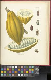 which plant was native to the new world theobroma cacao l plants of the world online kew science