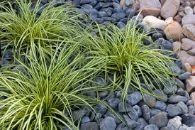 how to grow ornamental grass