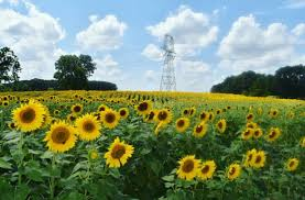 raleigh greenway map sunflower fields in bloom along the neuse greenway summer 2017