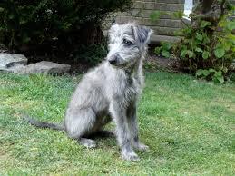 bedlington terrier stud bedlington terrier whippet cross puppies pinterest