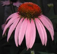 echinacea flower echinacea the purple coneflower perennial