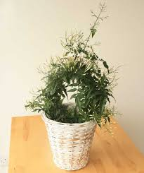 Fragrant Jasmine Plant - send a fragrant jasmine as a plant gift quality plants fast uk