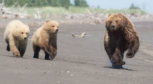 adorable family bears paws thought stand attention