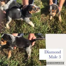 bluetick coonhound breeders ohio windy hills bluetick beagles home facebook