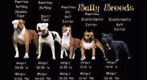 american pitbull terrier game bred bloodlines the history of brindle pit bulls the bully breeds