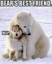 Wolf Meme - polar bear and wolf meme by zorathetwilightdrake on deviantart