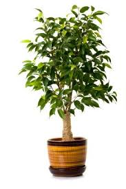 ficus tree care lovetoknow