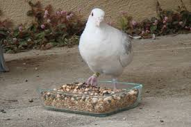 welcome to pigeons on price pigeons on price