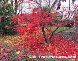maple tree symbolism japanese maple pictures images photos facts on japanese maple trees