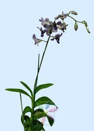 blue dendrobium orchids dendrobium orchid flower information dendrobium orchid cut