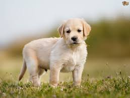top 10 family dogs pets4homes