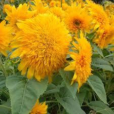 teddy sunflowers organic teddy sunflower home farmer