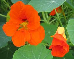 nasturtium flowers nasturtium flowers and unripe seed pods nature s restaurant a