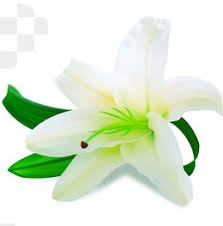 White Lily Flower White Lily Png Images Vectors And Psd Files Free Download On