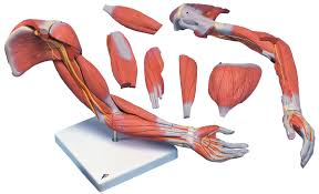 Anatomy Of Body Muscles Human Arm Models With Muscles