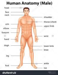 Male Internal Organs Anatomy Inner Organs Of Mens Body Anatomy Of Internal Organs Male Stomach