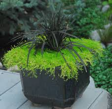 black mondo grass will add stunning contrast for your border or