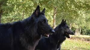 belgian sheepdog groenendael belgian shepherd