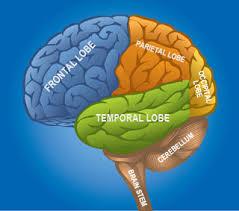 Image Of Brain Anatomy Brain Anatomy