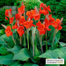 Cana Lilly Canna Lily The President Canna Lily Large Flowering Canna Lily