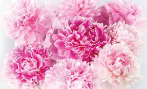 pink carnations wall paper mural buy at europosters pink carnations wallpaper mural