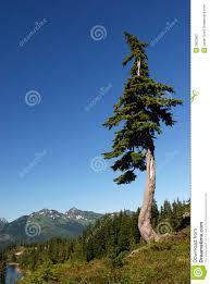 douglas fir tree stock image image of lake conifer pine 2863963