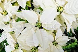 white poinsettia white poinsettias christmas flowers stock photo colourbox