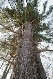 or white pine are you barking up the wrong tree