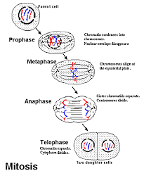 Mitosis And The Cell Cycle Worksheet All Categories 7th Grade Science