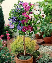 Braided Hibiscus Tree Pictures by Buy Ornamental Shrubs Now Tricolor Hibiscus Bakker Com