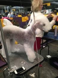 grooming a bedlington terrier puppy bedlington terrier star wars dog jones natural chews