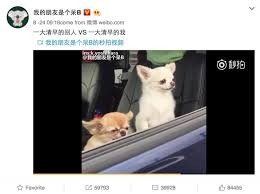 Morning People Meme - a video of a tiny dog falling over has become an extremely