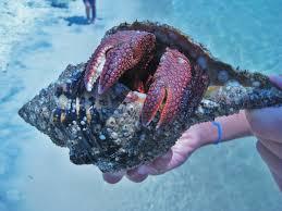 spirit halloween panama city fl huge hermit crab found panama city beach national park hermit