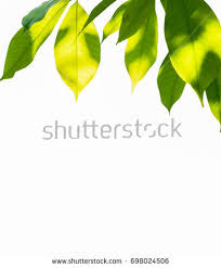 fresh light green tree leave isolated stock photo 546615622