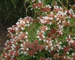 Fragrant Container Plants - 24 best plants we love fragrant plants images on pinterest